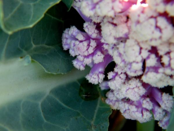Cauliflower grown in an Urban Garden in Sandusky during the 2008 season.