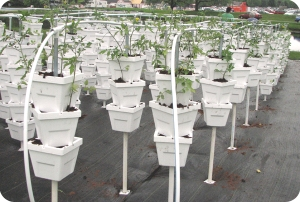 A high density vertical growing system demonstration plot recently installed by CIFT.
