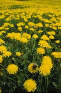 Delicious dandelions attract native pollinators that are essential to the success of your garden.